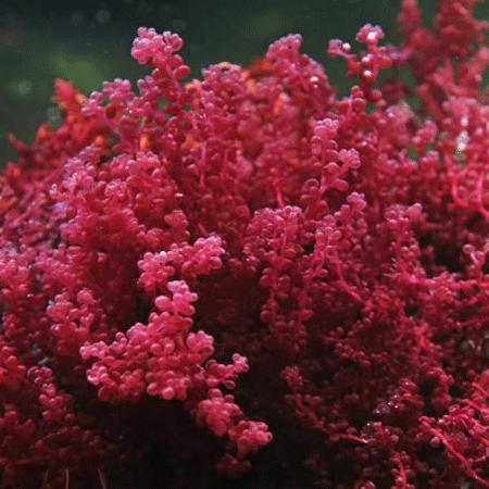 quelpo de uva roja